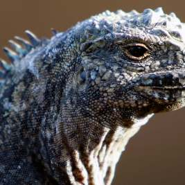 A Marine Iguana at Punta Pitt, Galapagos Islands.