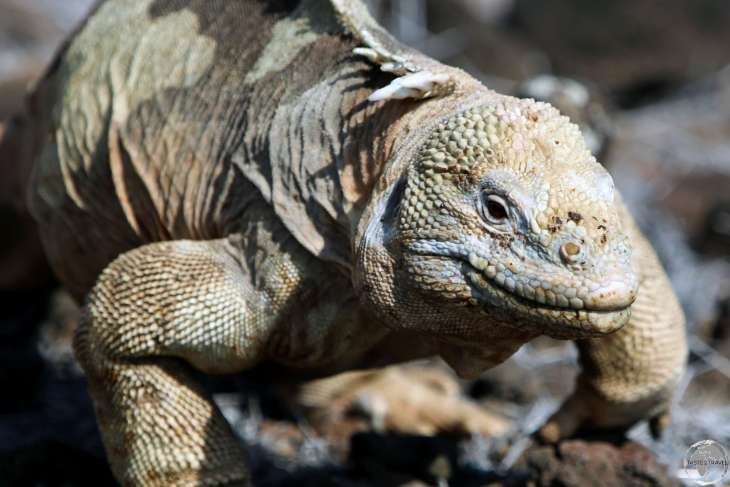 """Fifty shades of beige!"" - the Santa Fe land iguana is a common site on Santa Fe Island."