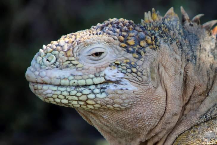 A Galapagos land iguana on South Plaza Island.