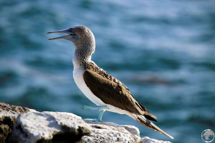 A Blue-footed Booby on South Plaza Island.