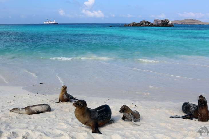 Galápagos Sea lions relaxing on the beach at Gardener Bay with Tortuga Islet (Turtle Rock) in the background.