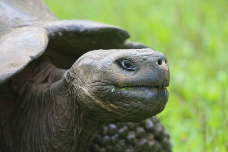 Weighing up to 400 kg (880 lb), the Galapagos Giant tortoise is the largest tortoise on the planet.