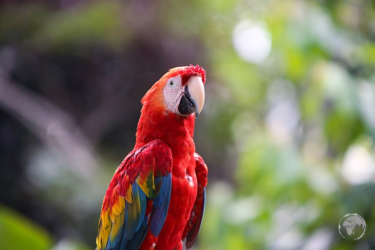 Macaws are a common sight in Iquitos.