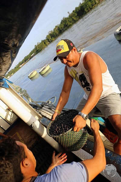 Açaí being loaded (mid-river) onto our boat for transportation from the middle of the jungle to Macapá.