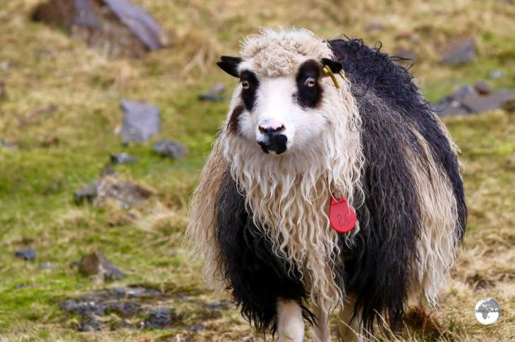 The endemic Faroe Islands sheep are all free-range, able to wander wherever they please in order to consume the rich bounty the island provides.