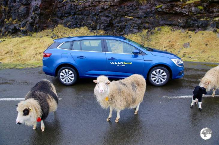 My rental car surrounded by some curious Faroese Sheep.