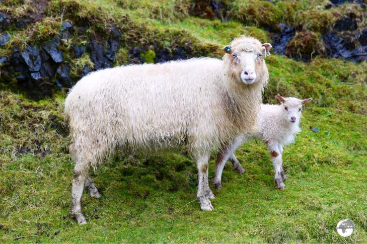 Many restaurant menus provide the opportunity to sample Faroese 'free-range' sheep.