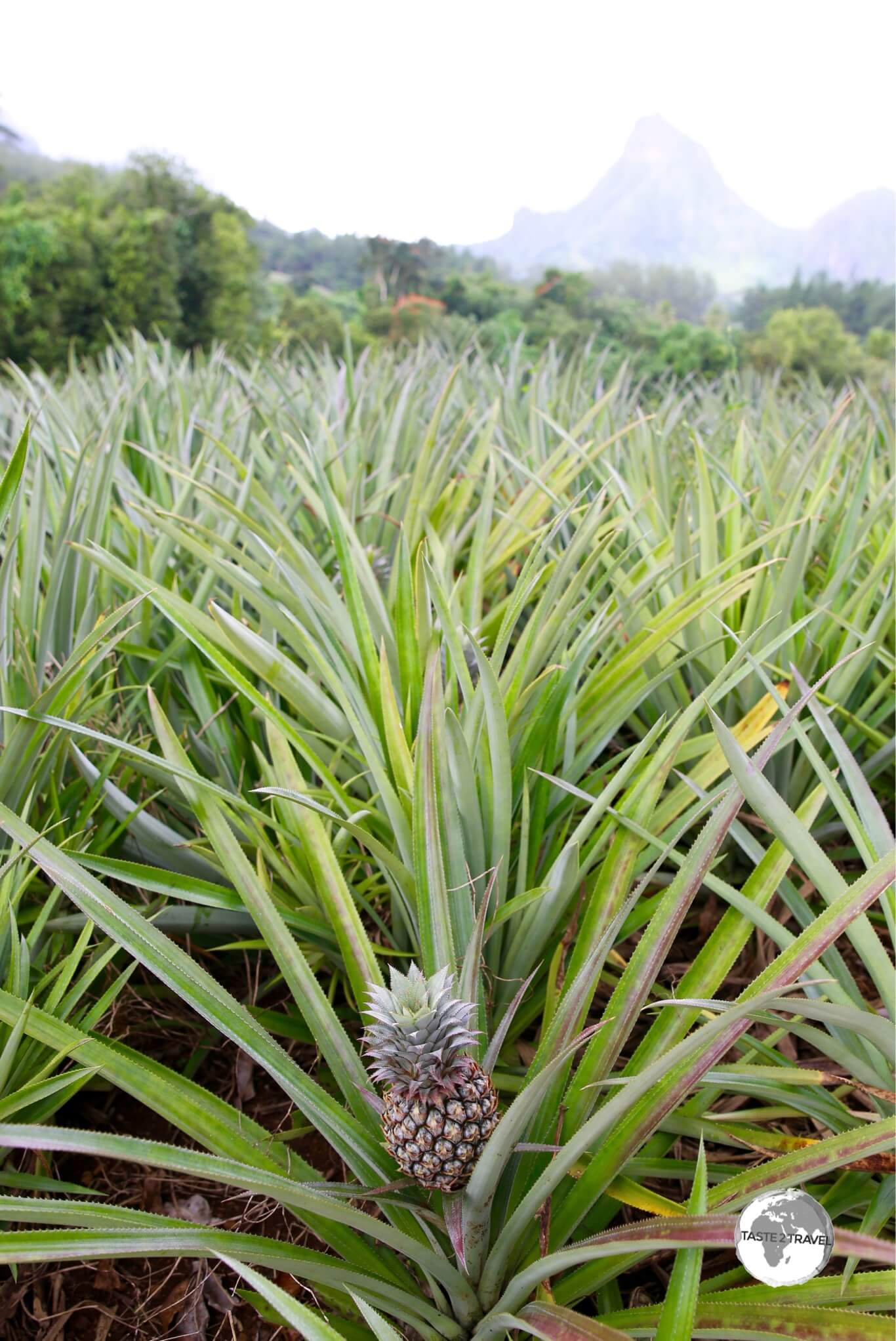 A pineapple plantation on the 'Route des Ananas'.