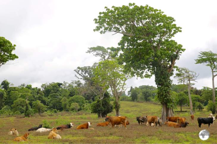 Happy, free-range cows on Efate.
