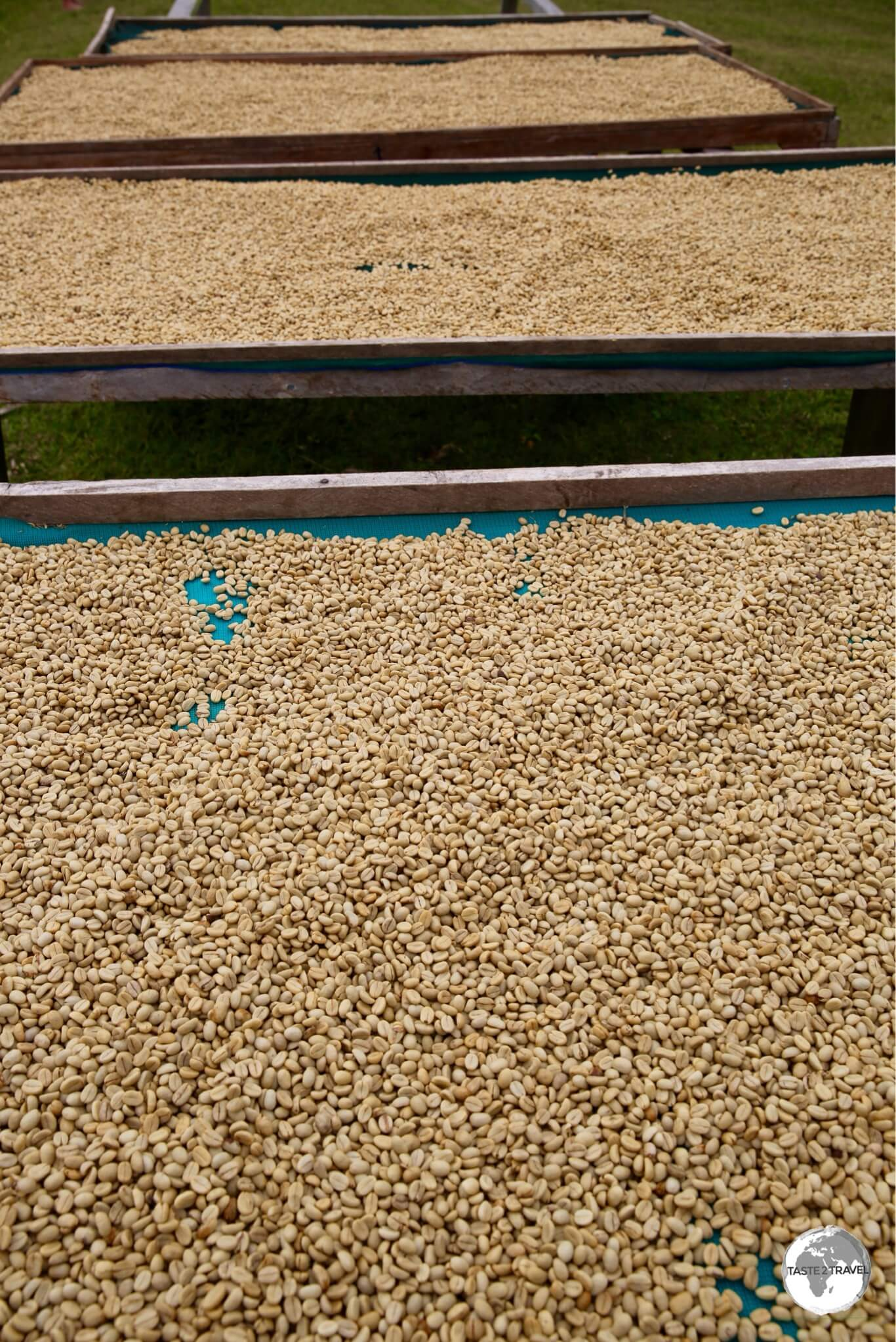 Green Arabica beans drying in the sun before being transported to Port Vila for roasting.