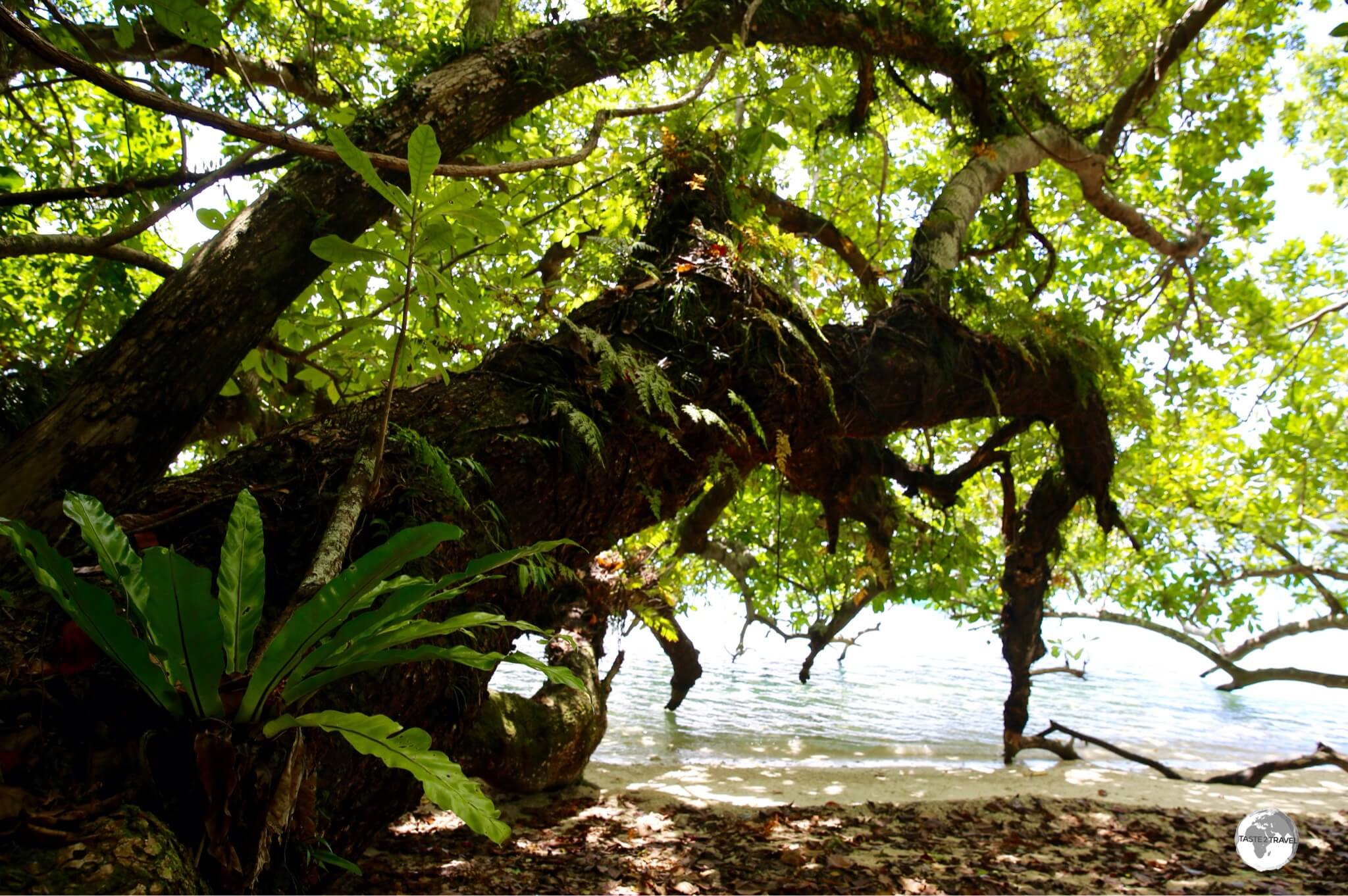 Giant Tamanu trees provide ample shade on the beach at Malo Island.