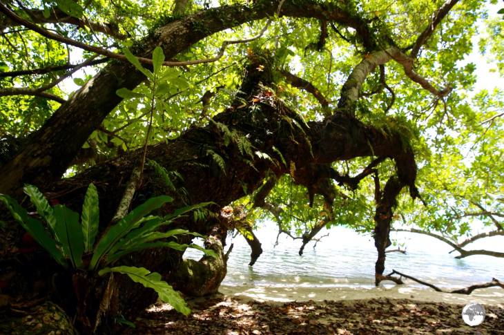 Giant Tamanu trees provide ample shade on the beach at Malo Island and host several native species of wild orchids.