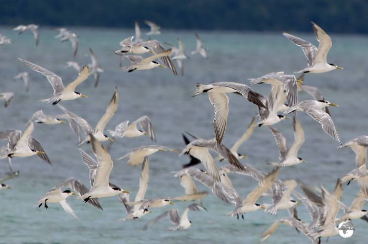 Sea gulls flying over Roviana Lagoon at Munda.