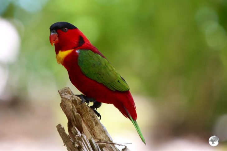 'Kennedy' is a cheeky Yellow-Bibbled Lory.