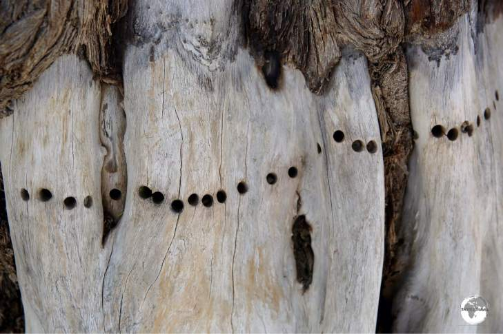 Drill holes from dendrochronology sampling can be seen on the lower trunk of the tree.