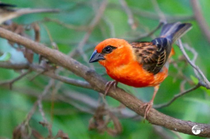 Originally introduced from Madagascar, the Red Fody can be seen in Bras d'Eau National Park.
