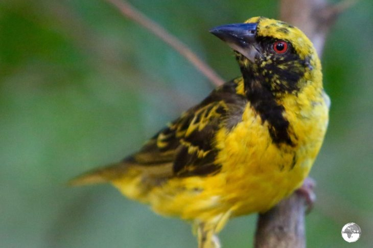 The Village Weaver, which was introduced to Mauritius, can be observed in the garden at Château de Labourdonnais.