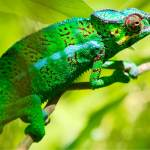 Like so many creatures on Reunion, the striking Panther Chameleon was introduced to the island from Madagascar.