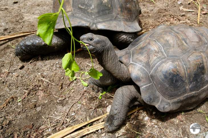 Native to the Seychelles, the Aldabra Giant Tortoise is one of the largest tortoises in the world.