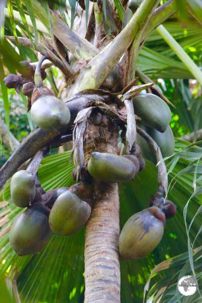 The Vallée de Mai Nature Reserve is the best place to see the endemic 'Coco-de-mer' palm.