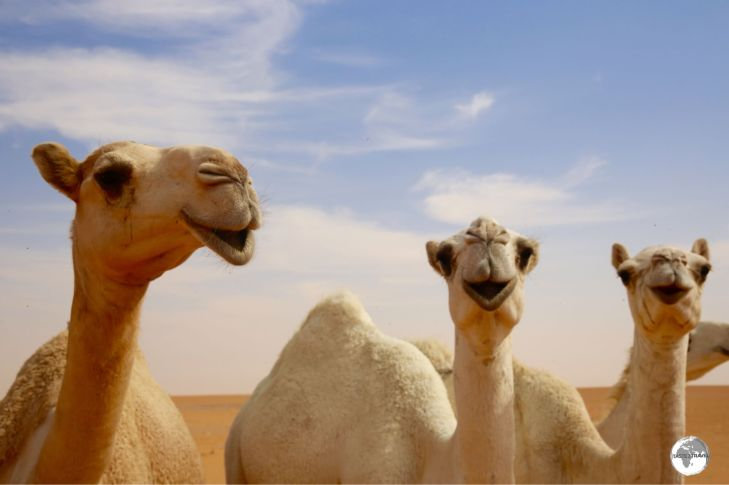 Camels are a common sight in Saudia Arabia.