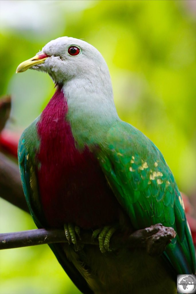 Sporting beautiful plumage, the Wompoo Fruit-dove is native to New Guinea.
