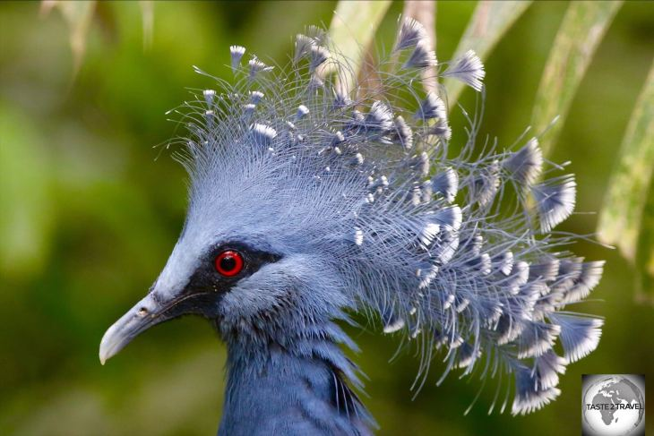 The Madang Resort is home to a large flock of the very striking Victoria Crowned Pigeon, the largest pigeon in the world.