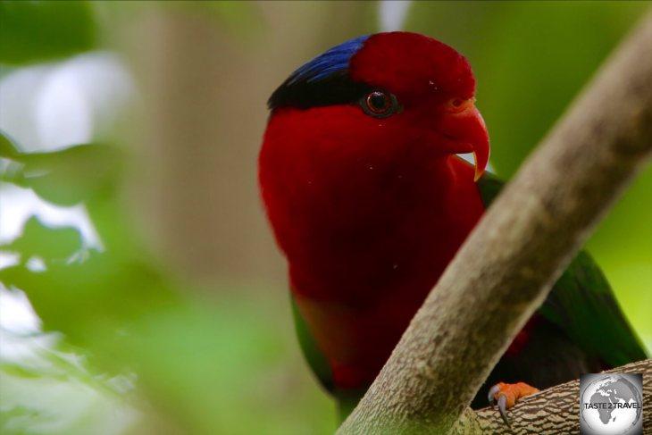 Papuan Lorikeet at Port Moresby Nature Park.