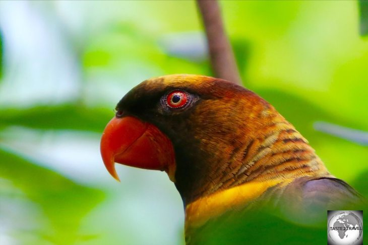 Endemic to Papua New Guinea, the Dusky Lorikeet is a species of parrot which is very social and curious.