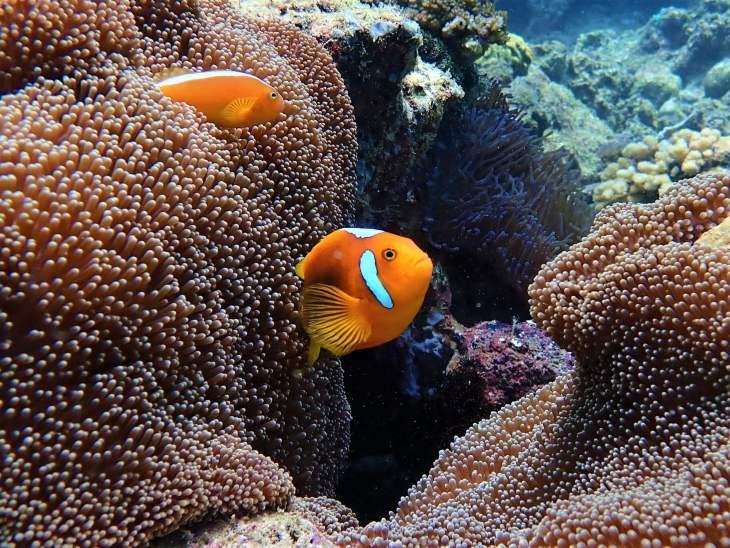 The rare White BonnetClown-fish can be seen on Langsam reef.