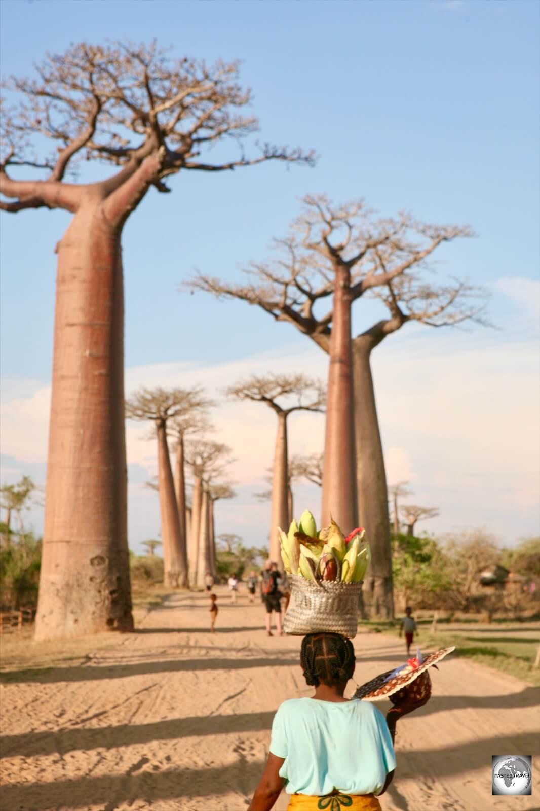 Baobab Avenue Madagascar
