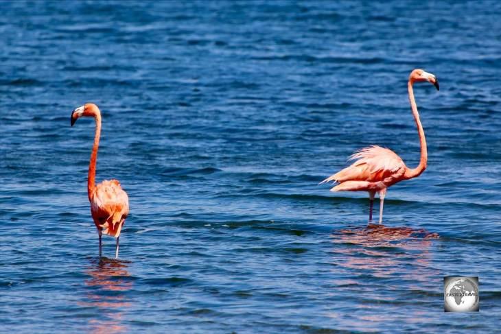 Caribbean Flamingos on Lake Gotomeer, Bonaire.