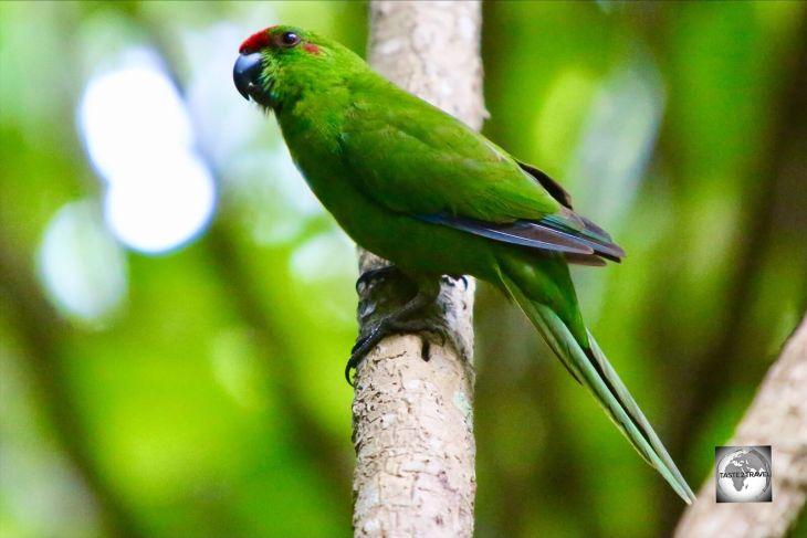 The endemic Norfolk Island green parrot in the Botanical garden.