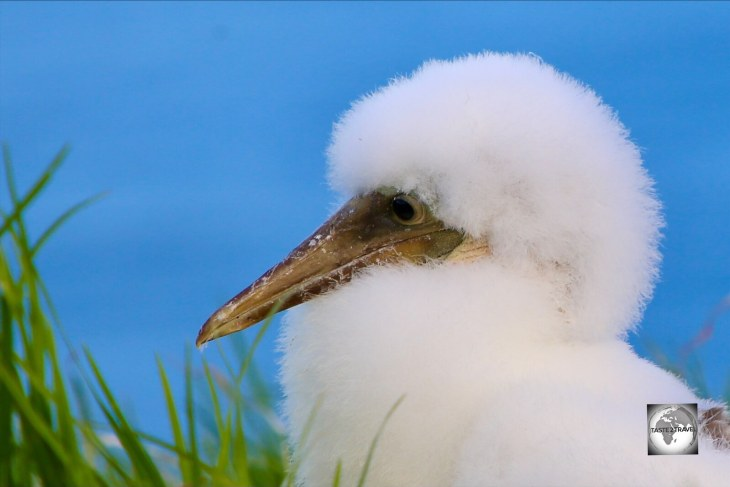 A Masked Booby chick on the north coast of Norfolk Island.