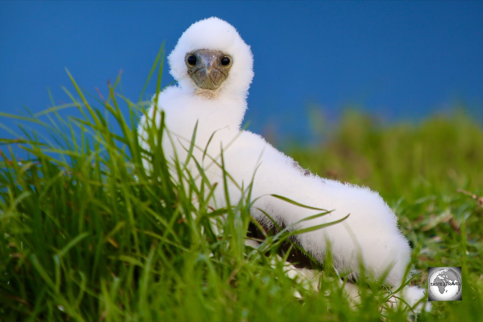 A fluffy Masked Booby chick on Norfolk Island.