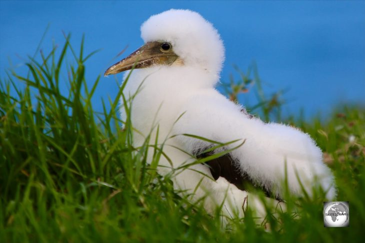 Striking a pose! A fluffy Masked Booby chick on Norfolk Island.