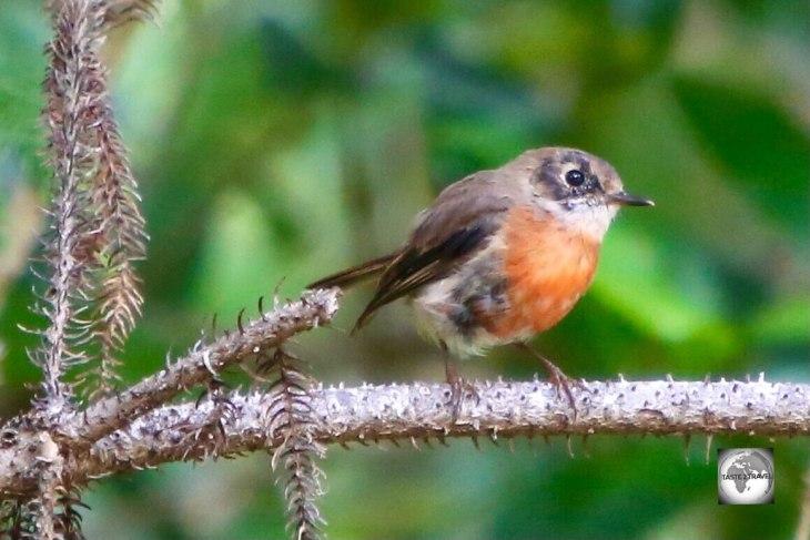 A juvenile male Scarlet Robin on Norfolk Island.