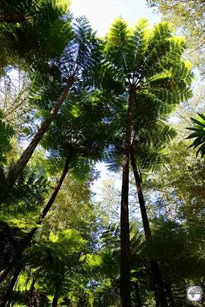Towering, Norfolk Tree Ferns, in the 100 Acres Reserve on Norfolk Island.