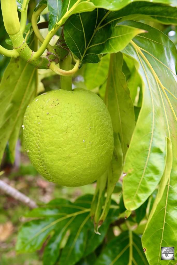 Breadfruit growing on Cocos (Keeling) Islands.