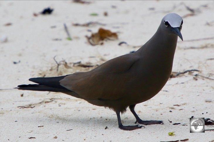A Brown noddy on South Island.