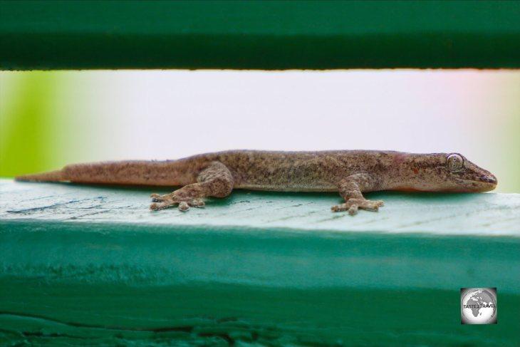 A Gecko on Home Island, Cocos (Keeling) Islands.