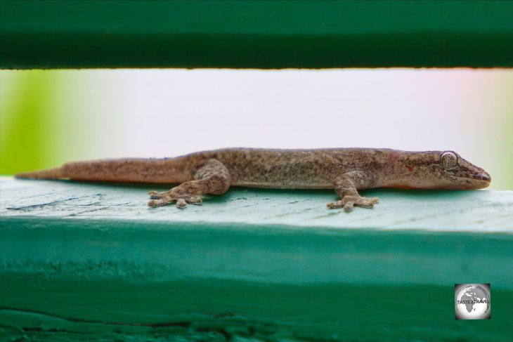 A Mourning gecko on Home Island.