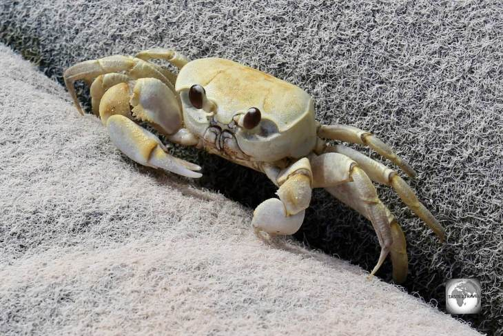 A curious crab on Home Island, Cocos (Keeling) Islands.