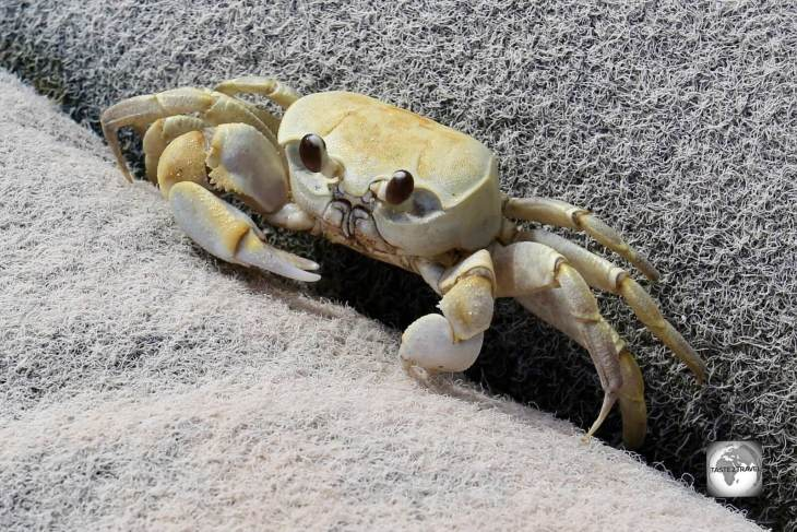 A curious crab on Home Island.