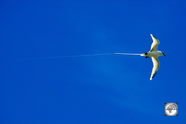 A White-tailed tropicbird flying over Home Island.