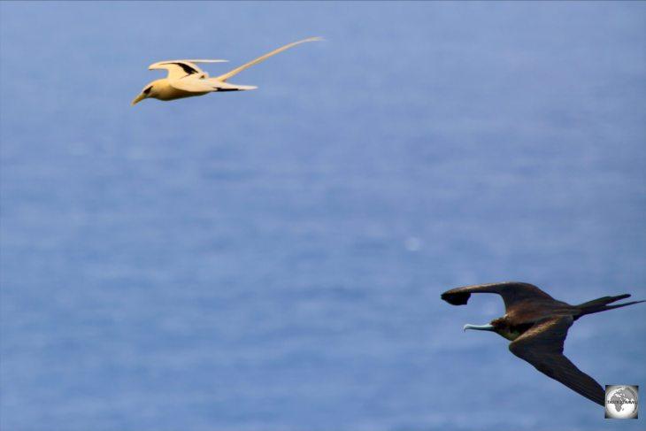A Great frigatebird, chasing a Golden bosun for its catch.