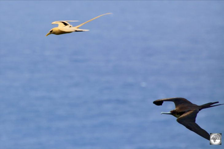 A Great frigatebird on Christmas Island, chasing a Golden bosun for its catch.