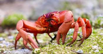 Cover Photo: Christmas Island Red Crab.