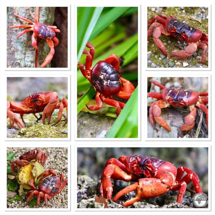 A Christmas Island red crab collage.