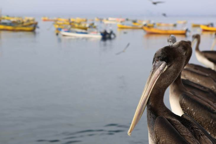 Peruvian pelicans on the waterfront at La Serena, northern Chile.